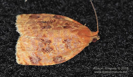 Tortricidae - Archips cerasivorana