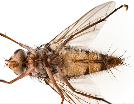 Male, Zelia vertebrata? - Zelia - male