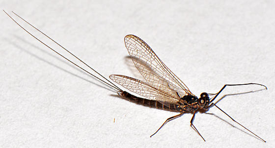 Is This Diptera? - Leptophlebia
