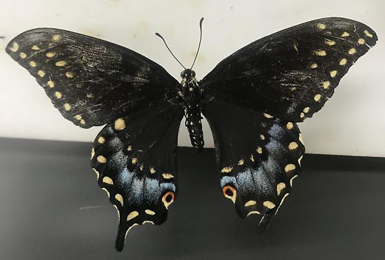 Papilo polyxenes - Papilio polyxenes