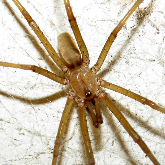 Male Southern House Spider Courting - Kukulcania hibernalis - male