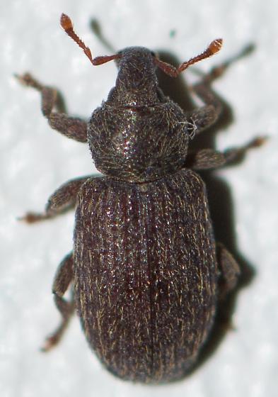 Curculionoidea - Hormops abducens