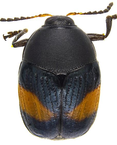 Lexiphanes mexicanus? - Lexiphanes - male - female