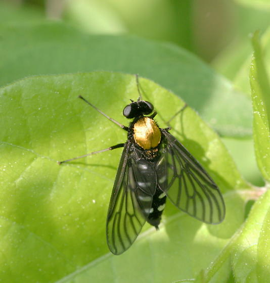 Golden-backed Snipe Fly - Chrysopilus thoracicus - female