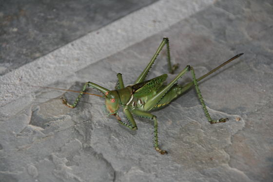 Gigantic Texas Grasshopper - Neobarrettia spinosa - female