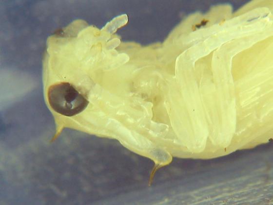 What Tom's pupa turned into - Denticollis denticornis