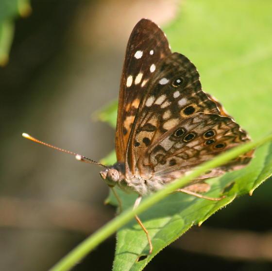 Butterfly on wild grape leaf - Asterocampa celtis