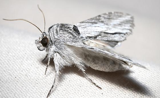 Noctuiid moth - Cucullia eulepis