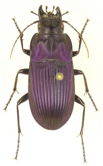 Dicaelus pupuratus - Dicaelus purpuratus - female
