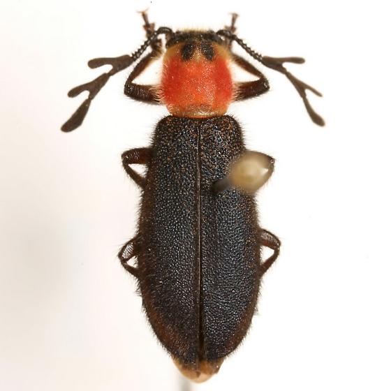 Chariessa elegans Horn - Chariessa elegans - male