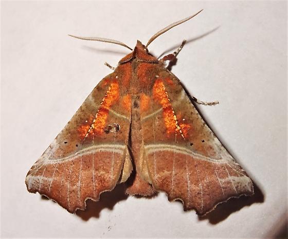 Scoliopteryx libatrix - The Herald  - Scoliopteryx libatrix