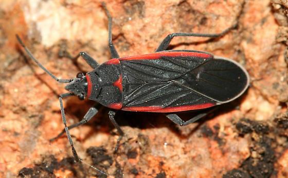 True bug - Melacoryphus lateralis