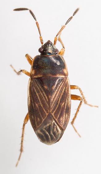 Bug - Cryphula trimaculata