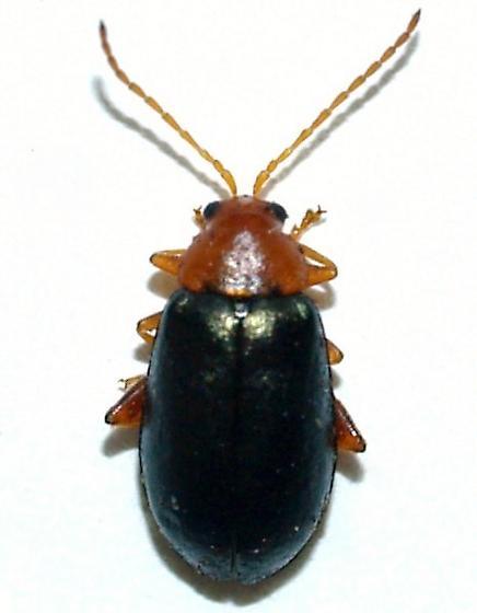 Alticini on oak - Hemiphrynus intermedius