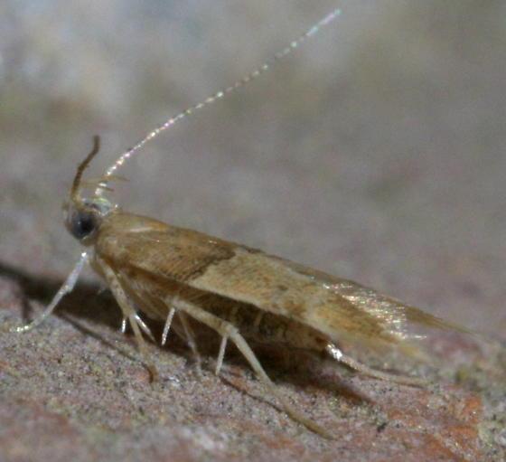 Small, brown, two-tone moth - Theisoa constrictella