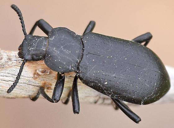 Darkling Beetle - Iphthiminus lewisii
