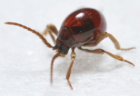Longitarsus sp.? - Gibbium aequinoctiale