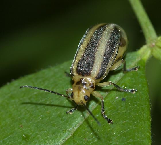 One very gravid leaf beetle - Derospidea brevicollis - female
