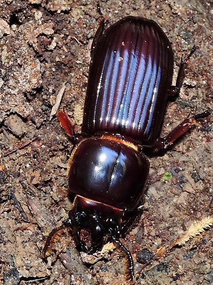 beetles in rotten log at Tunica - Odontotaenius disjunctus