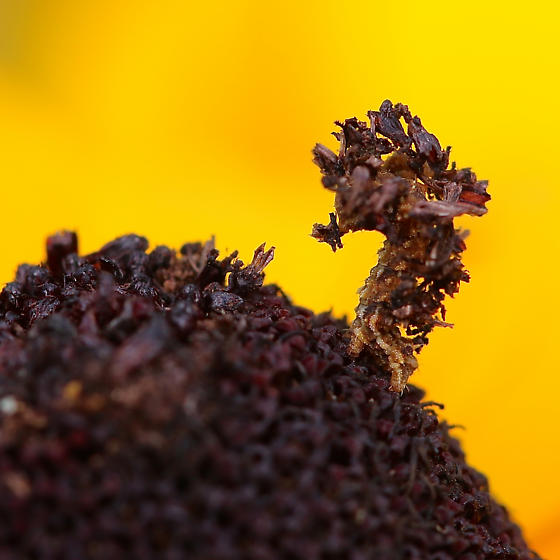 Bagworm caterpillar on Rudbeckia - Synchlora