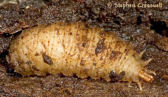 Underbark Larva - Xylota