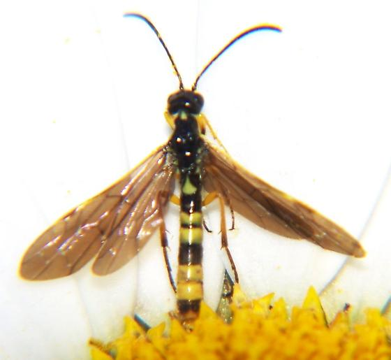 Sawfly? - Cephus cinctus
