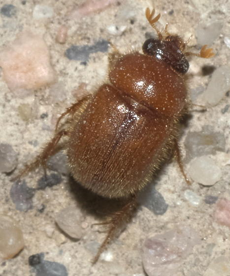 Small, brown, hairy scarab beetle