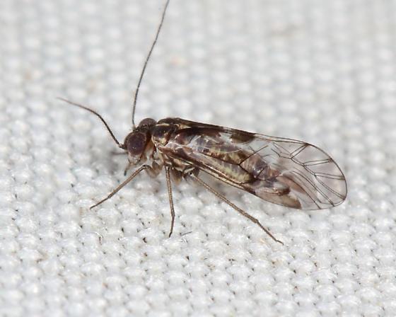 Psocidae - Hyalopsocus striatus - male