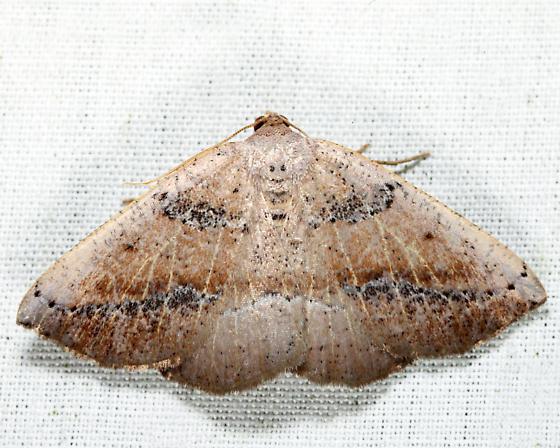 Tacparia atropunctata