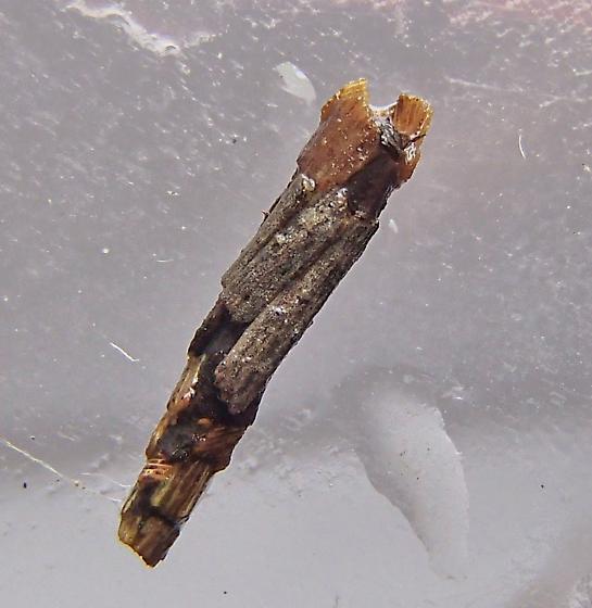 Caddisfly larva?