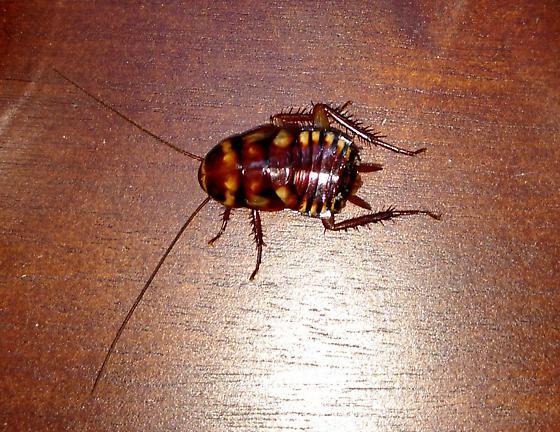 Australian Roach Nymph - Periplaneta australasiae