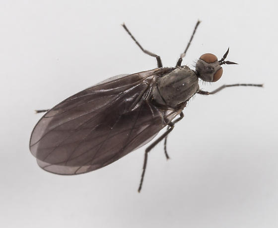Rhamphomyia  - Rhamphomyia - female
