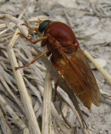 rusty orange fly - Coenomyia ferruginea - female