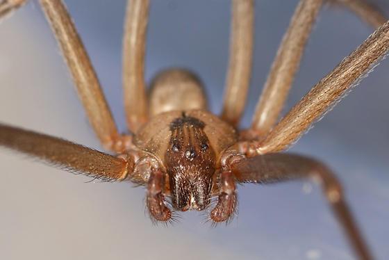 Brown Recluse - Loxosceles reclusa - male