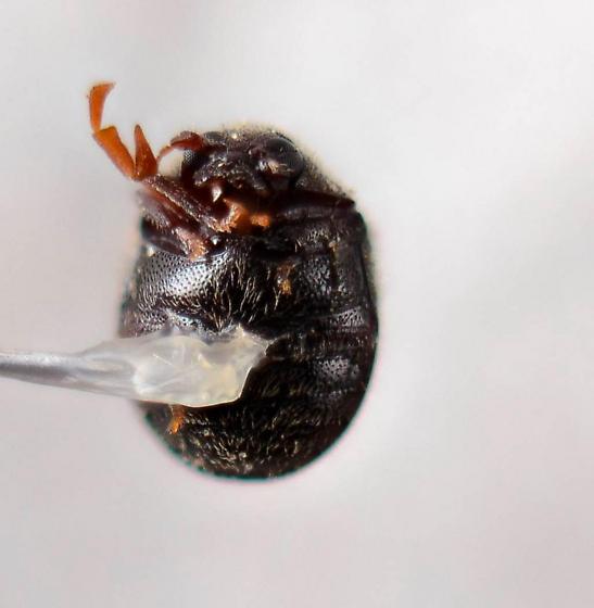 Caenocara - Puffball Beetle? - Caenocara