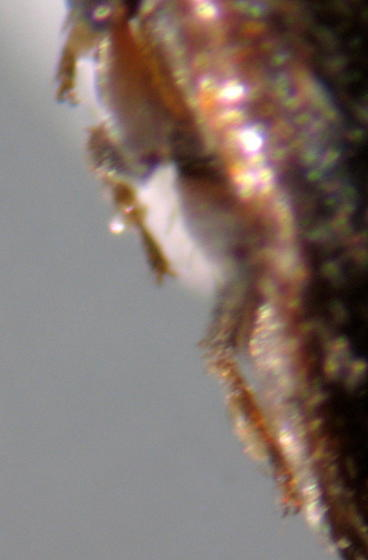 Chrysomelid? - Xerasia grisescens