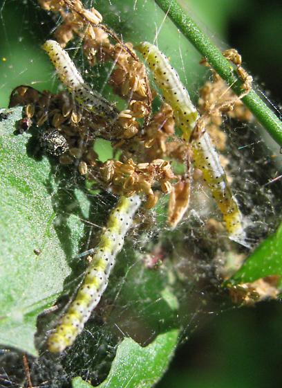Euonymus caterpillars - Yponomeuta cagnagella