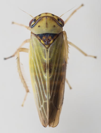 Leafhopper - Agalliopsis ancistra - female