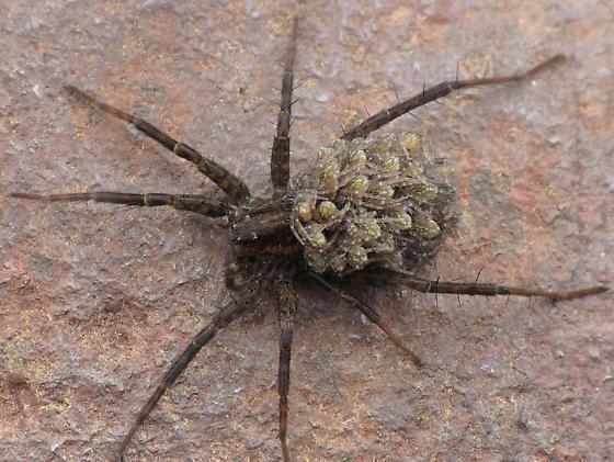 Female with spiderlings - Pardosa vancouveri - female