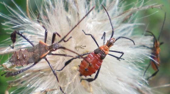 Nymphs on a thistle. Species? - Leptoglossus phyllopus