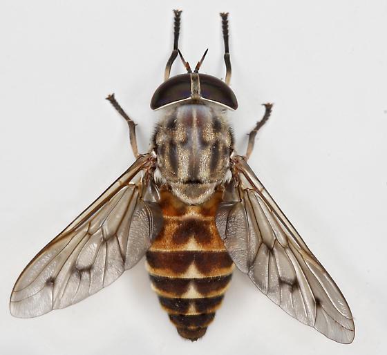 BG1752 E2181 - Tabanus sulcifrons - female