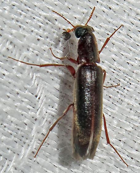 Unidentified Beetle - Melittomma sericeum