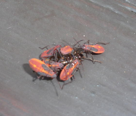 Red and Black Cannibal Insect! - Boisea trivittata