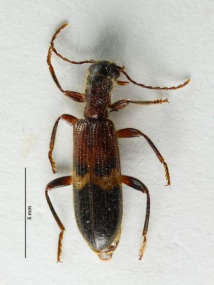 Cymatodera? - Cymatodera tricolor