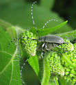 Beetles - Dectes texanus - male - female