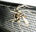 Spider #08-26  Wolf? - Hogna coloradensis