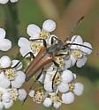 Flower Longhorn (Stenocorus vestitus/nubifer complex) - Stenocorus