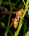 Unknown wasp - Polistes apachus