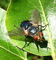A big black fly on a leaf in New Jersey (Tachinidae: Archytas) - Archytas