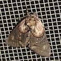 Abrostola ovalis - Oval Abrostola - Hodges#8880 - Abrostola ovalis